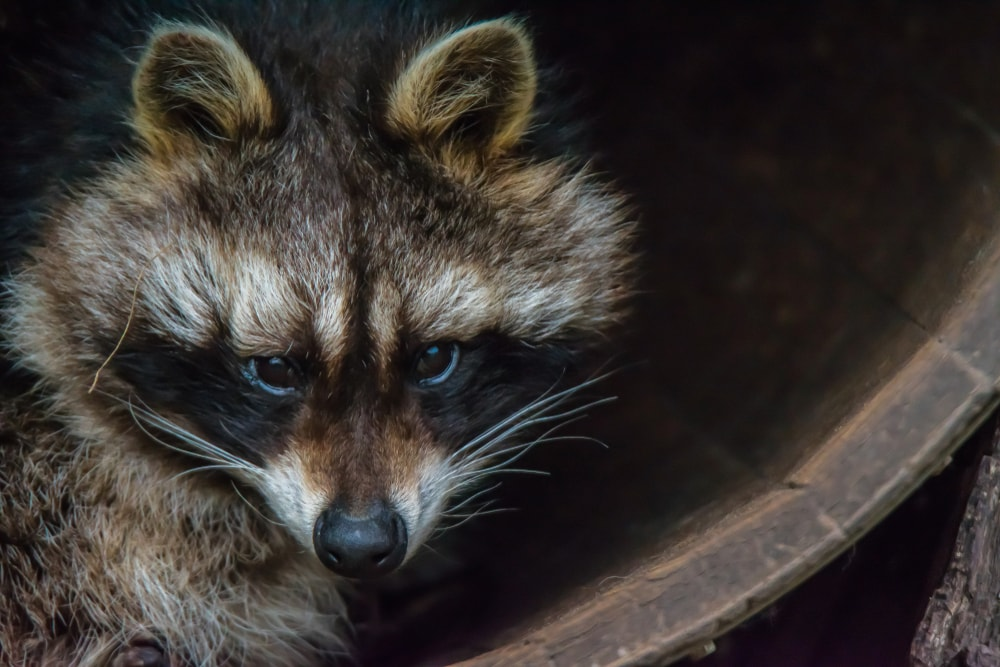 Get That Angry Raccoon Out of the House