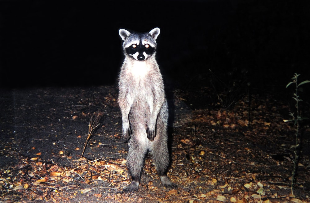 uninvited raccoon