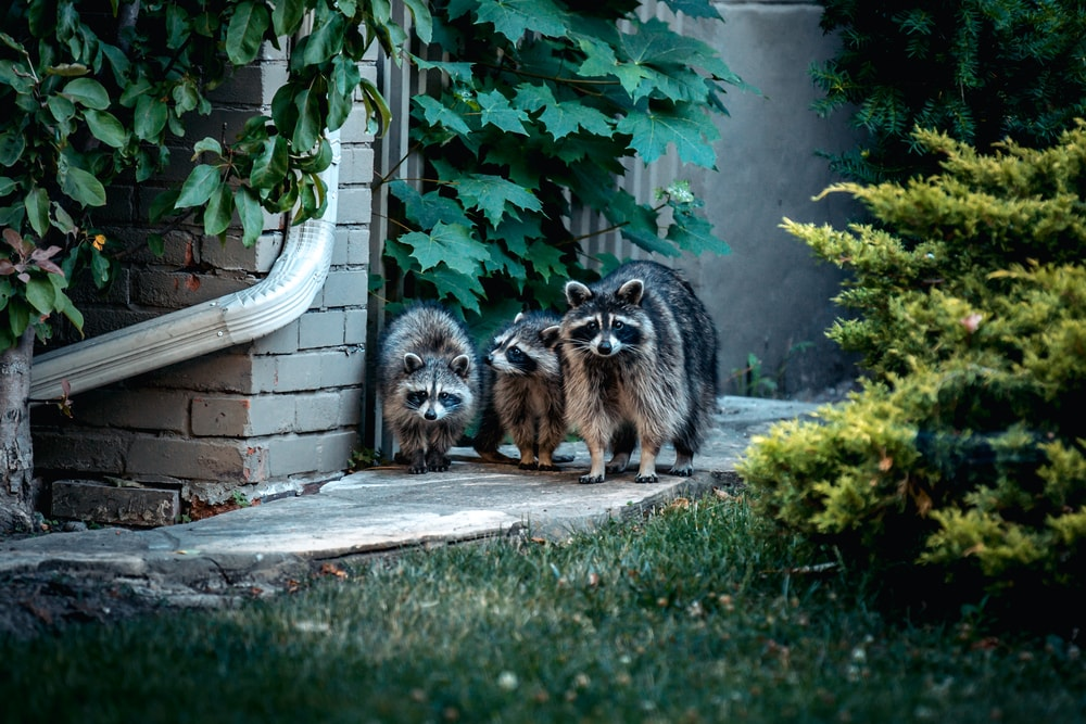 Zoonotic Diseases Carried By Raccoons