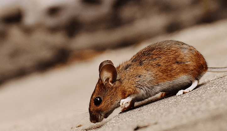 Do Mothballs Repel Rodents And Mice?