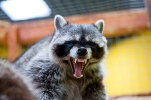 angry raccoon