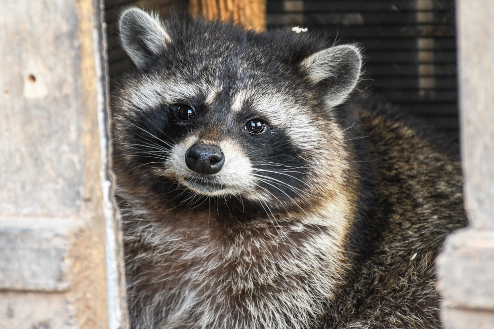 Raccoon Removal Service for your home