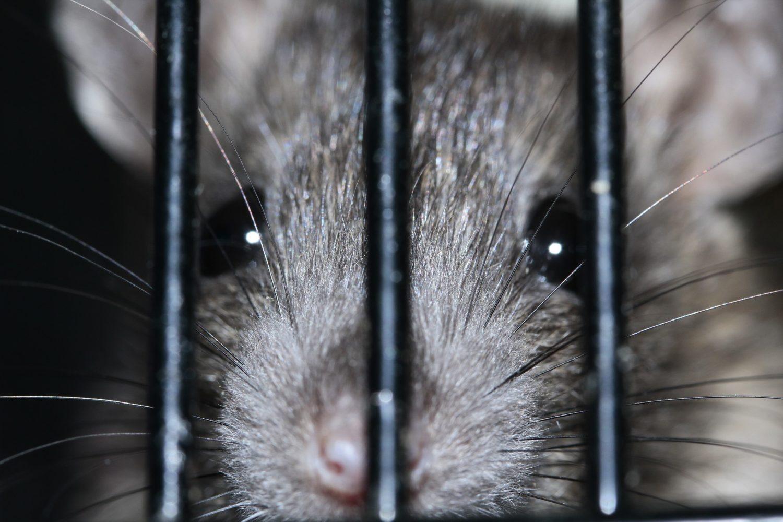 rat locked up