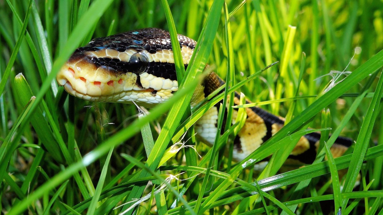 snake removal service in South Florida