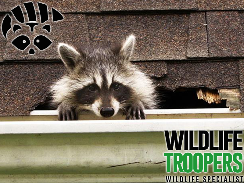 Best Racoon Removal Service