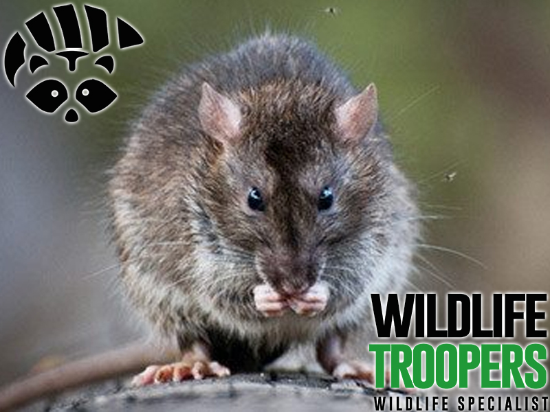 RAT REMOVAL SERVICES