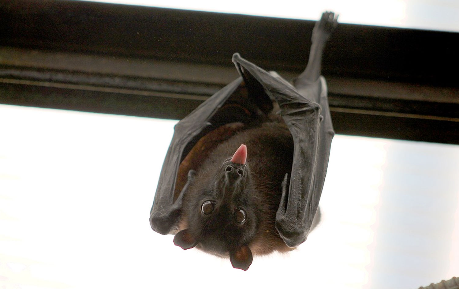 Bat Removal Service | Wild Life Troopers