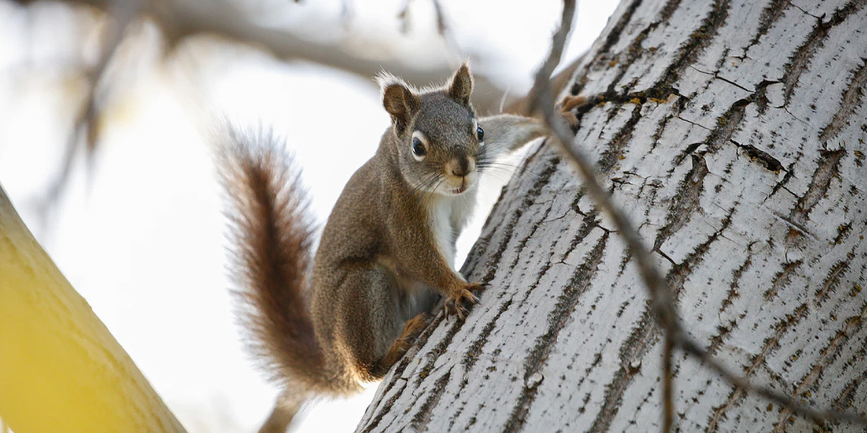How Do Squirrels Get Into Attics?