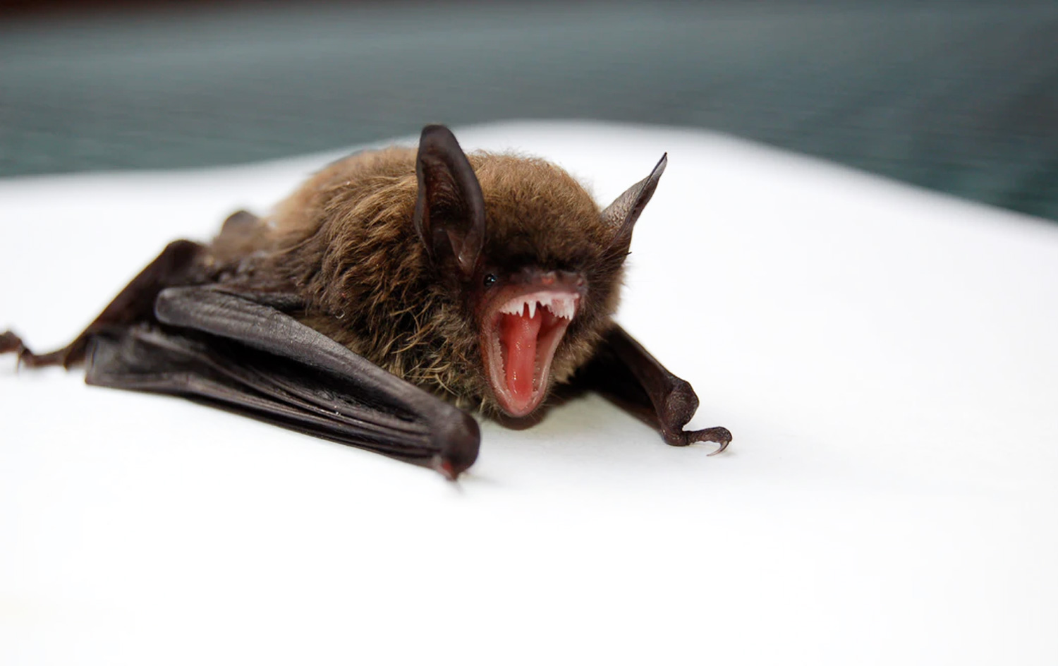 Do I Have Bats in My Attic?