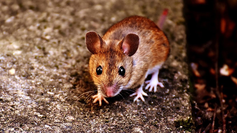 mice-img