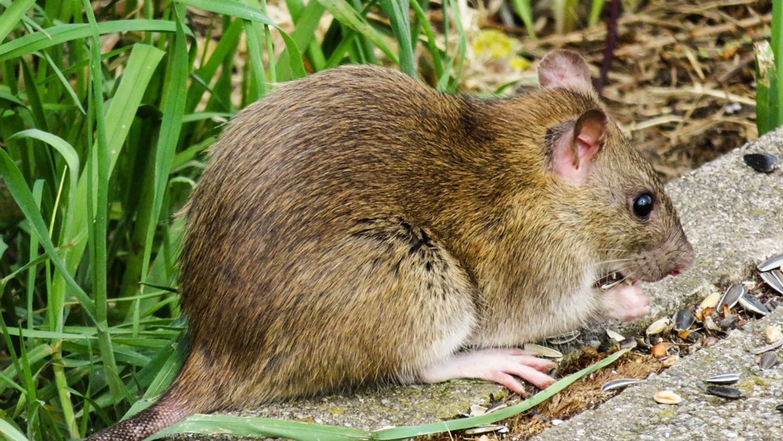 rat-eat-food