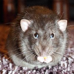 rat-eats