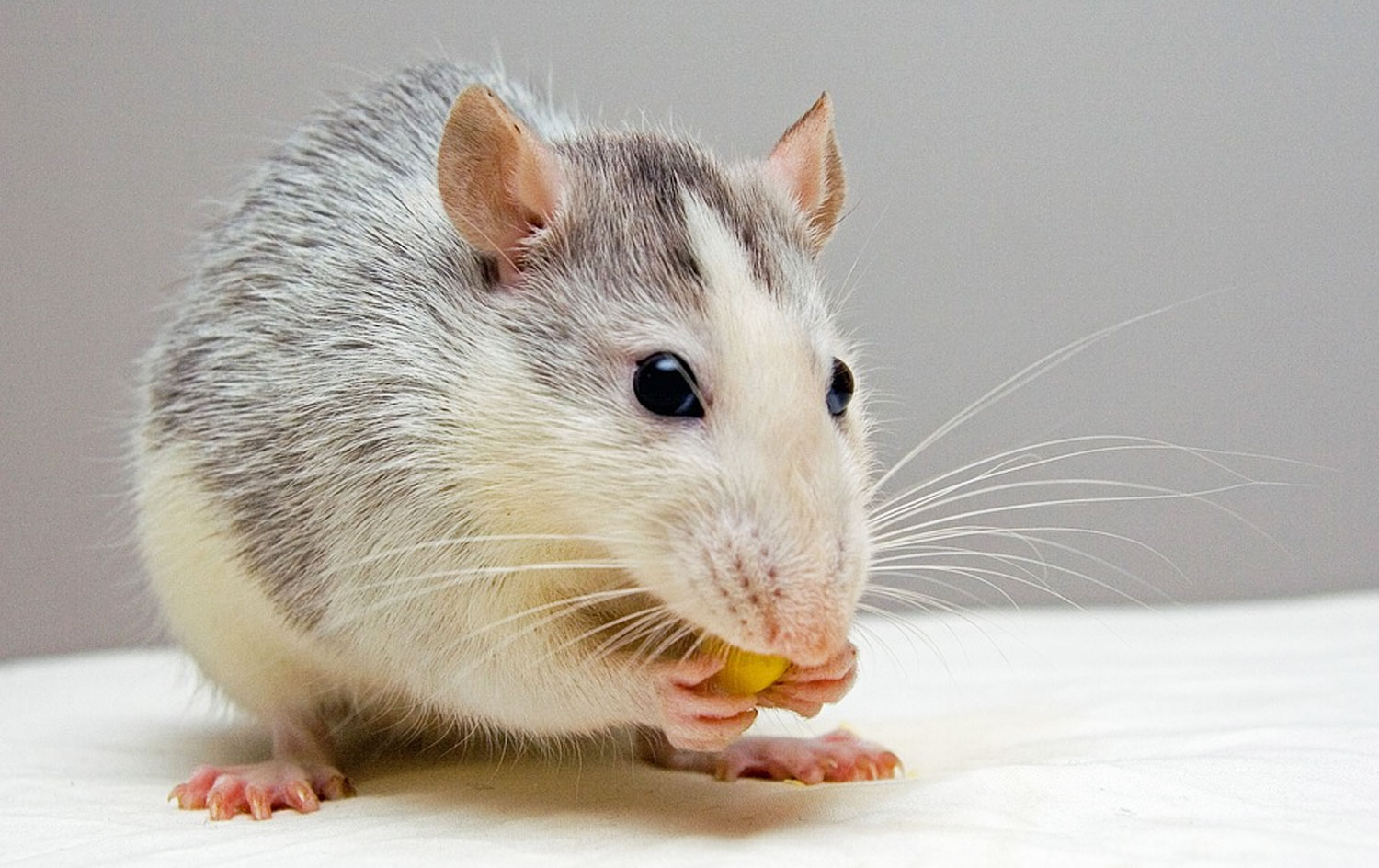 How Far Will Rats Travel For Food?