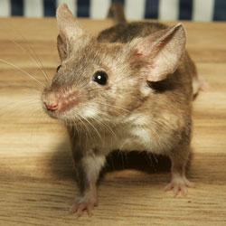 Will Rats Nest In Your Attic Fiberglass Insulation
