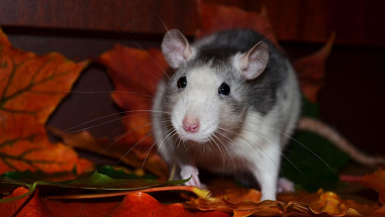 rat-in-attic