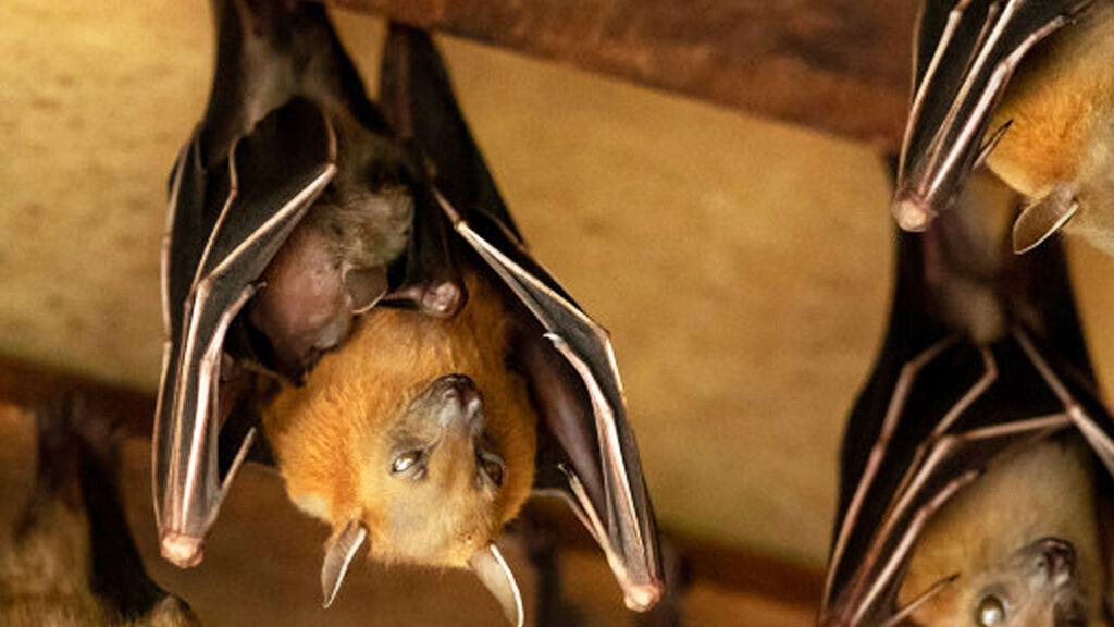 Bats Roost In Basement