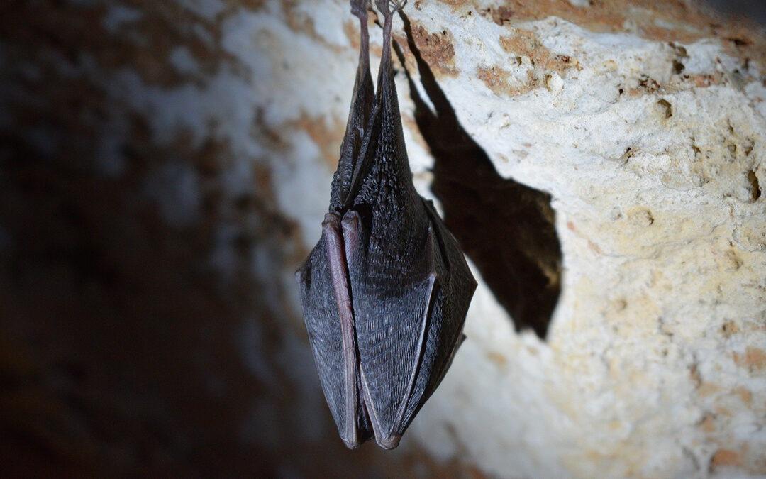 Do Bats Roost in Basements