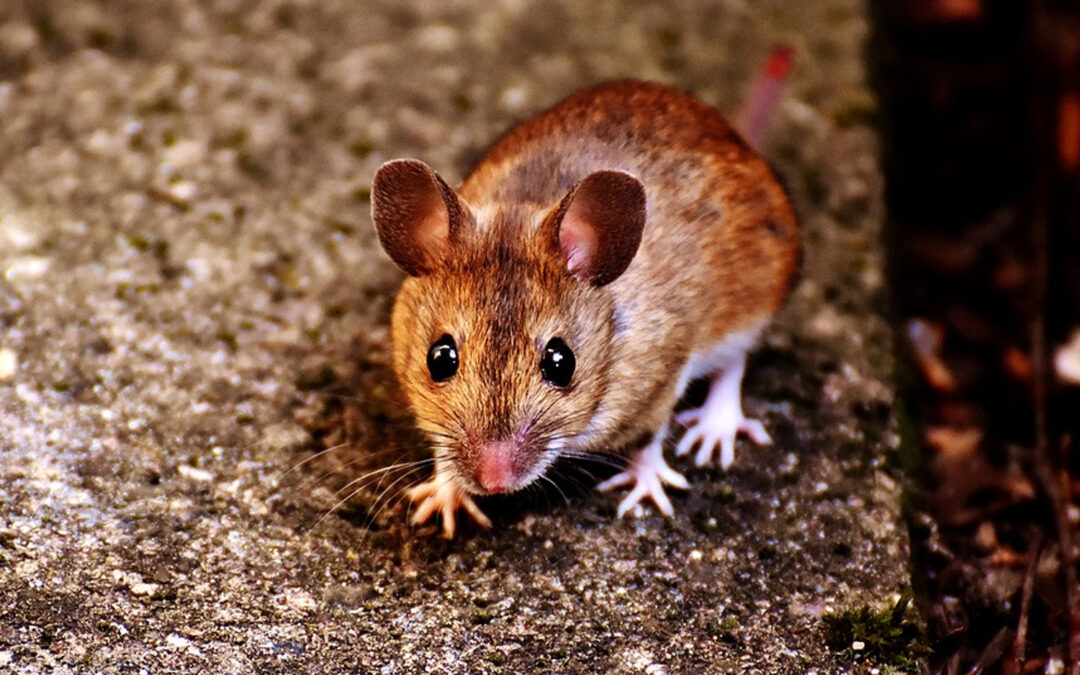 How Long Does It Take a Mouse To Chew Through a Wall?