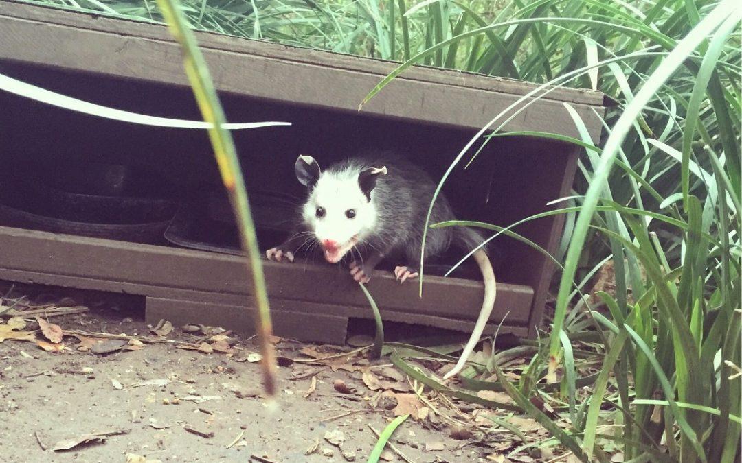 Do Opossums Burrow Under Houses?