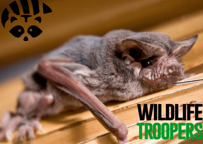Bat Removal Service   WildLife Troopers