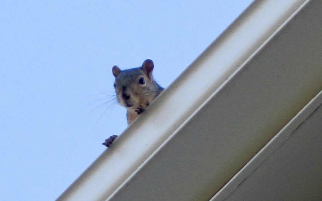 What Wild Animal Is Running On Your Roof At Night?