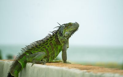 Why Are Iguanas A Problem In Florida?