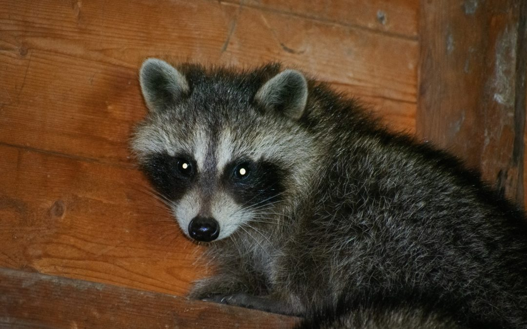 Can Raccoons Chew Through Wood In Your House?