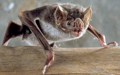 Why DIY Bat Removal is Tough and Dangerous?