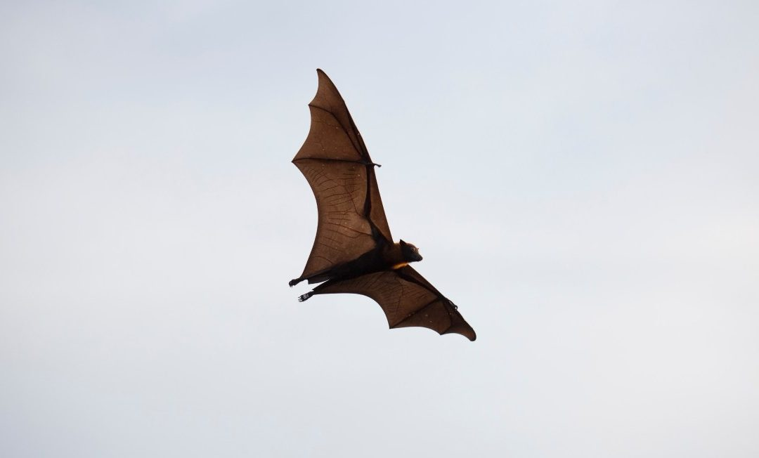 Why Is A Bat Flying In Circles Inside My House?