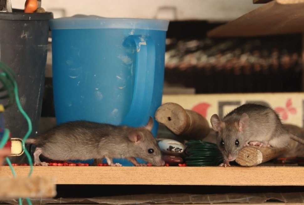 How Bad Is A Mouse Infestation In My Home?
