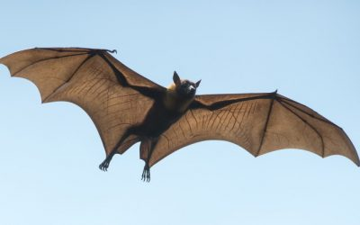 How To Get Rid of Bats?