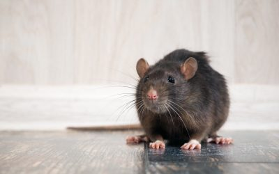 Why Rat Infiltration Shouldn't be Ignored – Expert Rat Exterminator